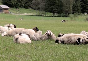 Neben Alpakas, Ziegen und Ponys findet man auch Schafe im Kötschachtal