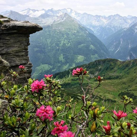 Alpejskie różaneczniki  #góry #mountains #alpy #alpyaustriackie #stubnerkogel #kochamgory #moc #power #hygge #kwiaty #kwiatyalpejskie #różanecznik #instanature #instafoto #inmountains #insta_flower