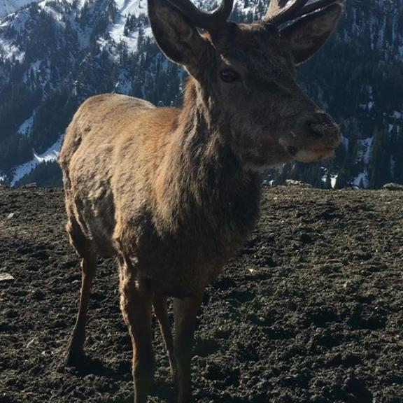 When he bends his head the antlers are in my lap and very gently after I put the  iPhone down I spend the next minutes stroking his fluff ears.  Super day in the valley every moment filled with magic.  #majestic #stag #angertal #badgastein #salzburgerland #salzburg #austria #österreich #wild #deer #reddeer #hart #stag #wildlife #nature #mountains #beauty #hohetauern #instagood #instalike #follow #followme #like4like #likeforlike #tagsforlikes #follow4follow #followforfollow