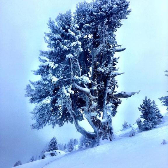 tree of the day. #graukogel #morethan2000meteroverseelevel  #lastskiday