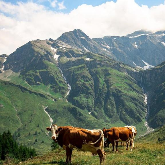 One of the most scenic hikes of our life at #hohetauren national park in #sportgastein #austria We loved seeing these cows along our path, they sure are living the life!