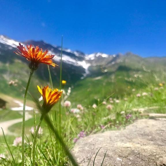#feldinghütte #blumen #pflanzen #mountain #hiking #gadaunererhochalm #bikegastein #gastein #badhofgastein #angertal #mtb